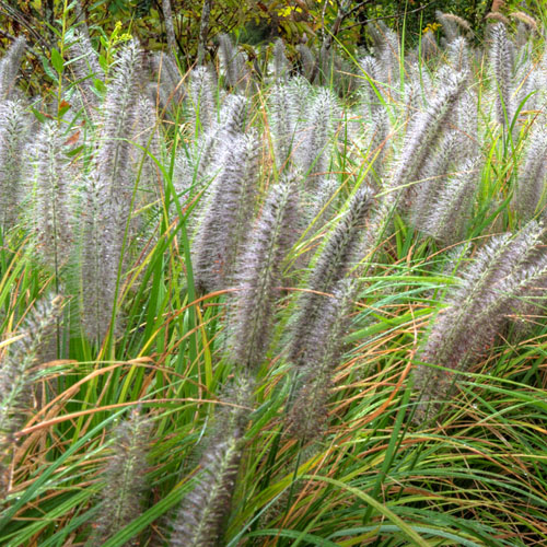 Grasses, Sedges, Rushes Doug DeBerry