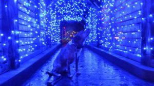 Blue dog and GardenFest lights, photo by Renee Lamoureux at GardenFest for Fidos