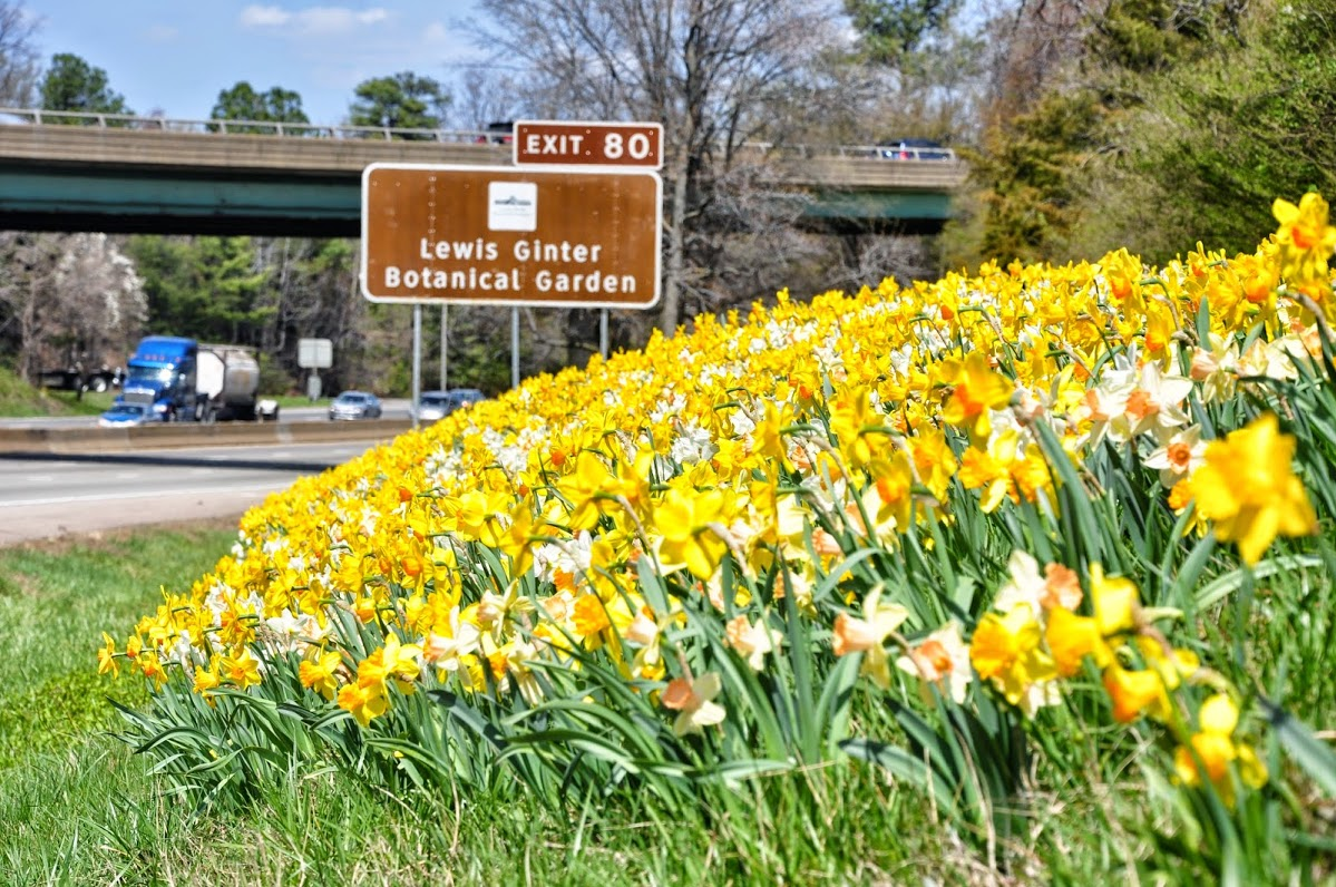 Daffodils And Lewis Ginter Botanical Garden Sign On I 95 Near Exit 80 Photo By Andy Mason