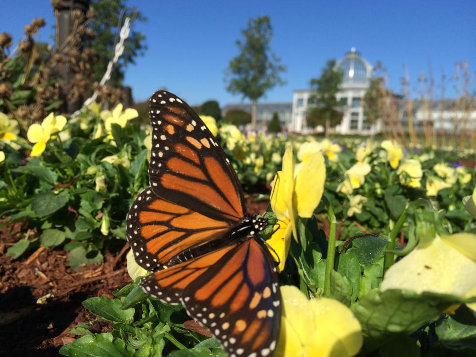 monarch and the Lewis Ginter Botanical Garden conservatory by JONAH Holland