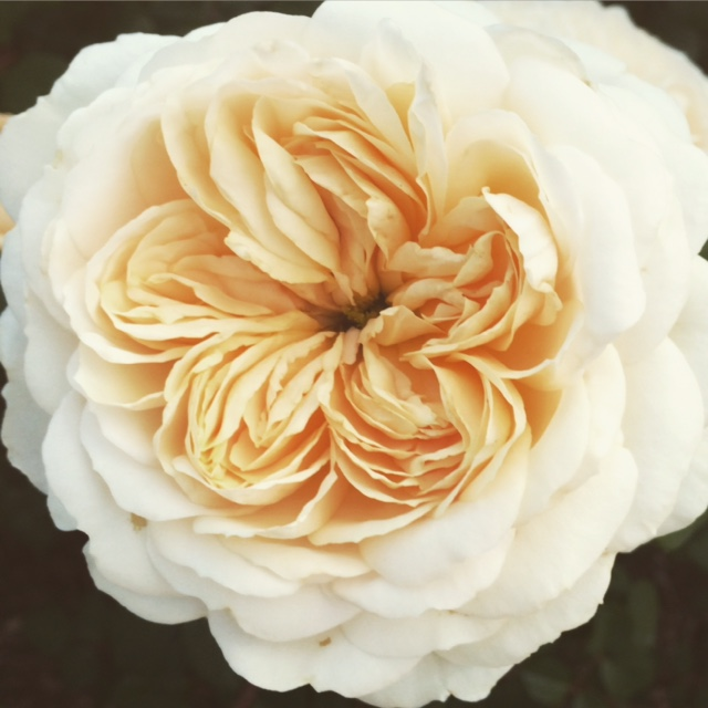 David AustinRosa 'Crocus Rose'