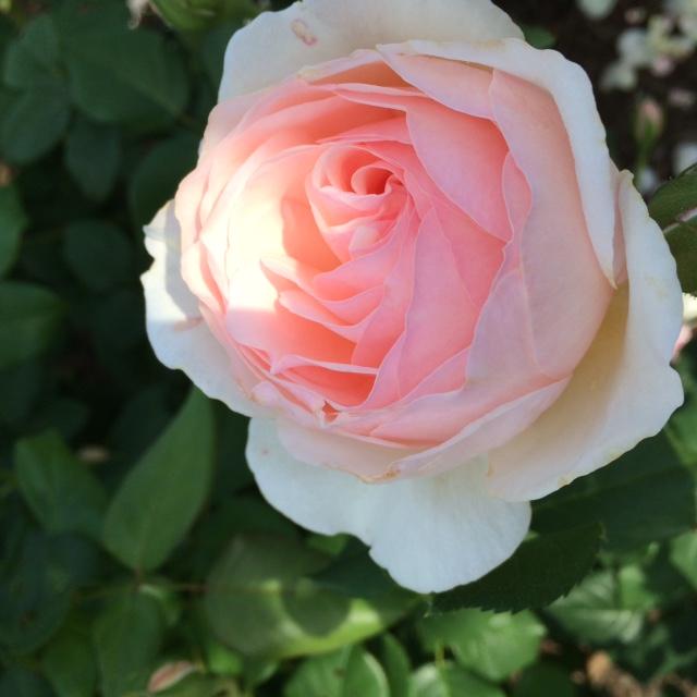 English Garden Rosa 'Heritage'