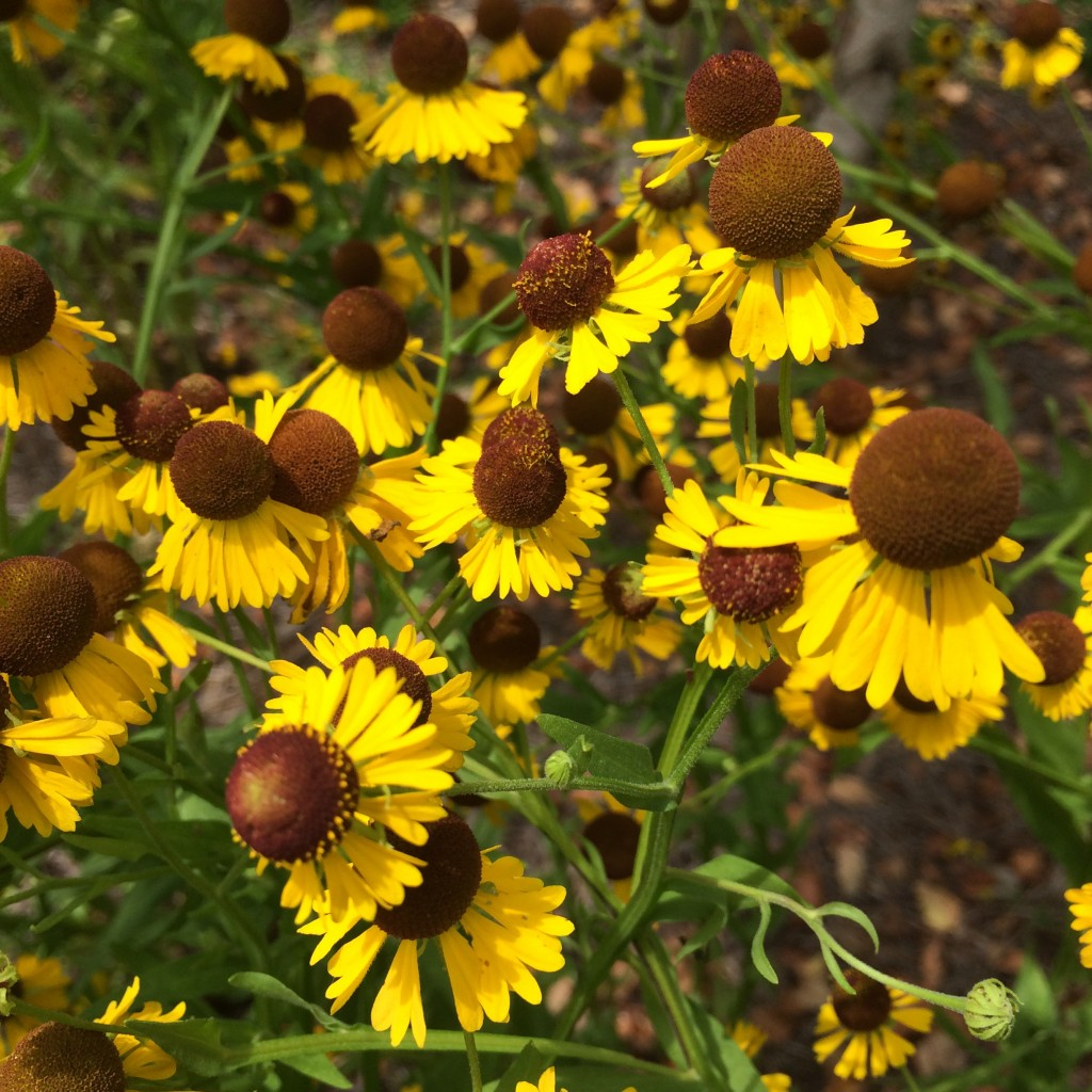 Summer blooms like Helenium flexuosum 'Tiny Dancer' add a pop of color to the landscape.