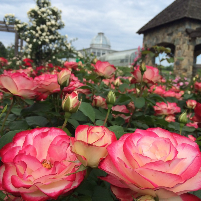 Rosa 'Cherry Parfait' and the Conservatory