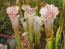 Sarracenia in the West Island Garden.