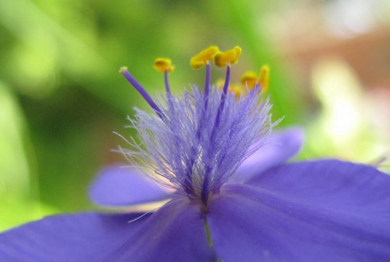 Spiderwort, Tradescantia virginiana, spider lily