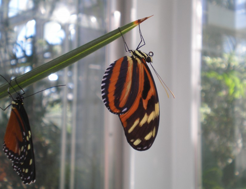 Tiger longwing butterfly or Heliconius ismenius.