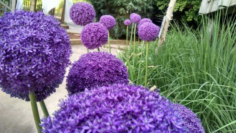 Allium 'Ambassador' photo by Heather Veneziano