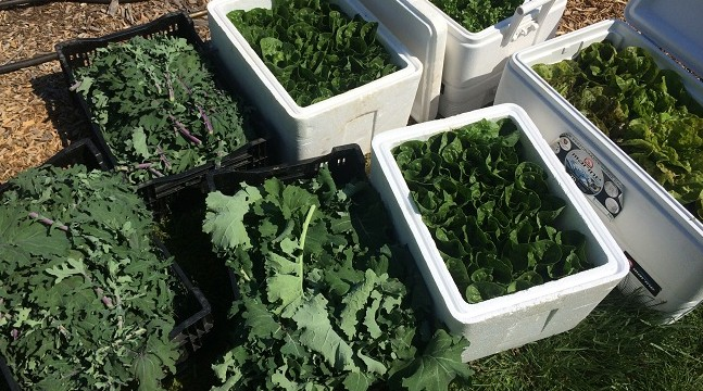 Fresh greens galore: kale and lettuce.