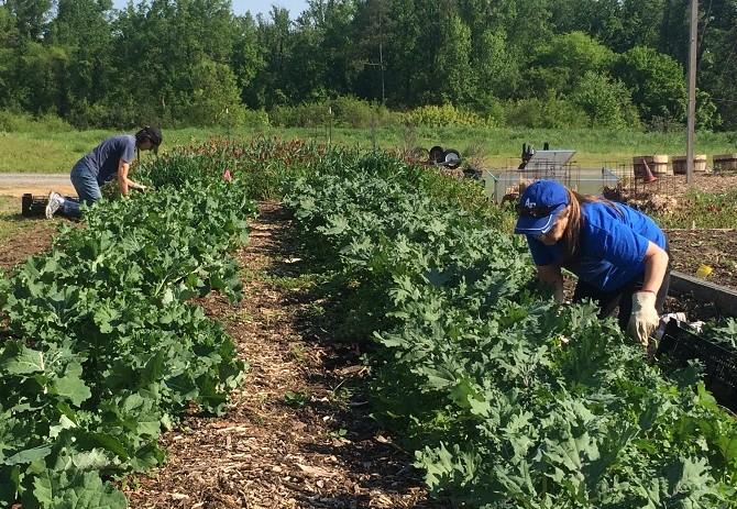 Volunteers Diane Kerns and Becky Potter harvesting kale.