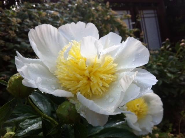 Yellow and white peony