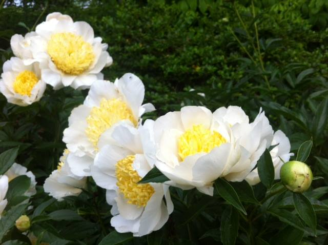 Yellow and white herbaceous peonies, Paeonia lactiflora.