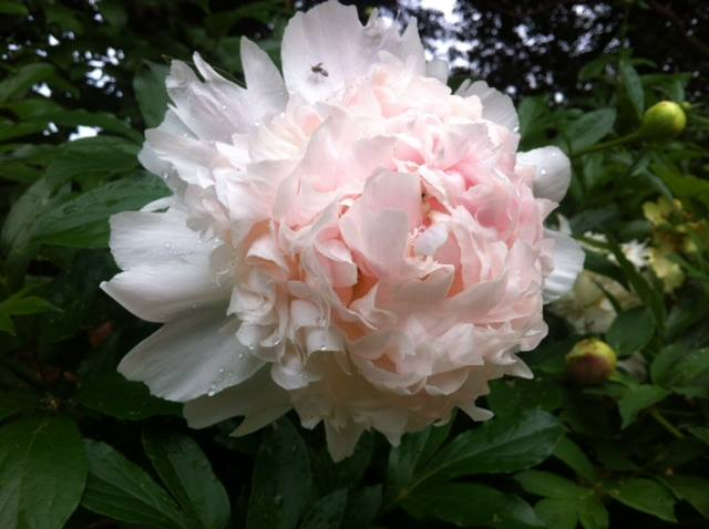 Herbaceous peony in sunlight