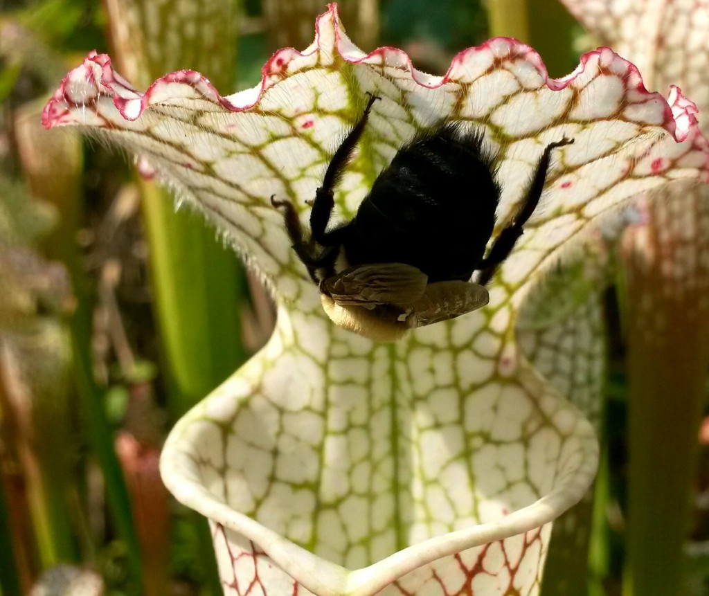 Bee with pitcher plant