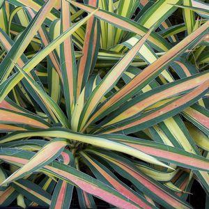 multi-color yucca plant
