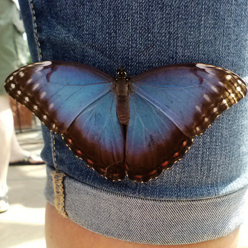 A common morpho  (Morpho peleides) resting on a pair of blue jeans to blend in.