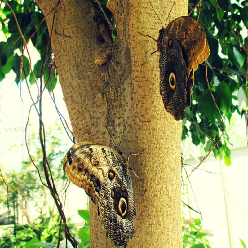 Giant owl  (Caligo memnon)  and Forest Blue Mort <(Caligo eurilochus) butterflies blending in with ficus tree trunk.