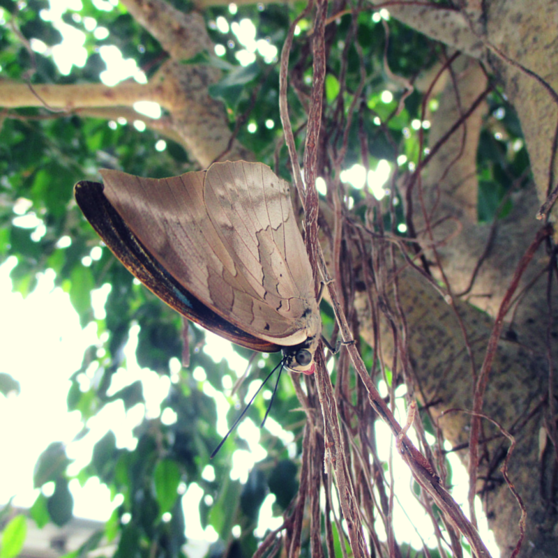A king shoemaker (Archaeoprepona demophon) butterfly hanging from the branches of a weeping fig tree (Ficus benjamina 'Indigo').