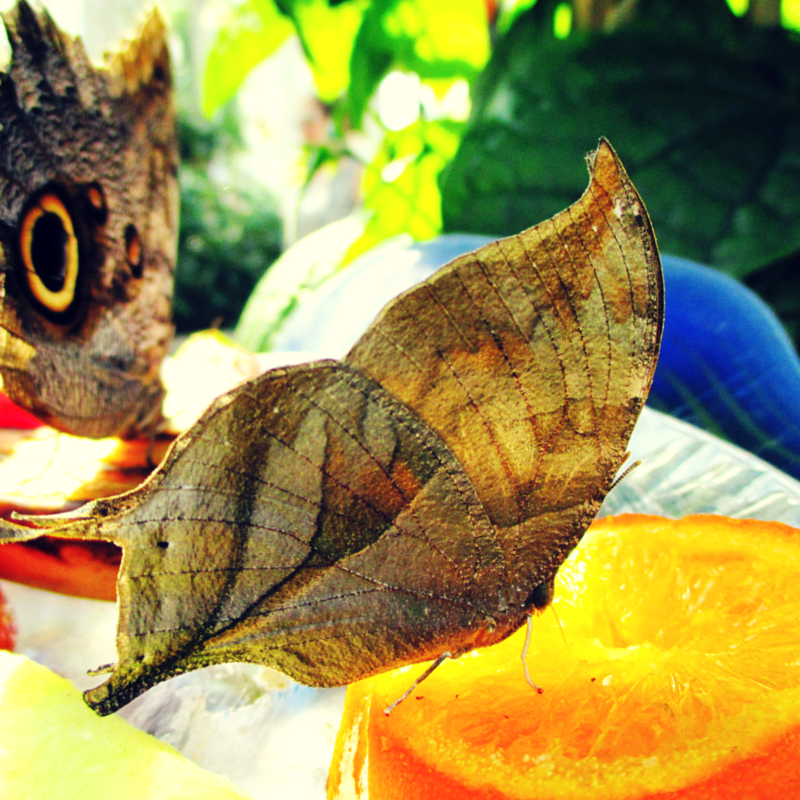 A pearly leafwing <em>(Consul electra)</em> butterfly eating a orange with his proboscis.