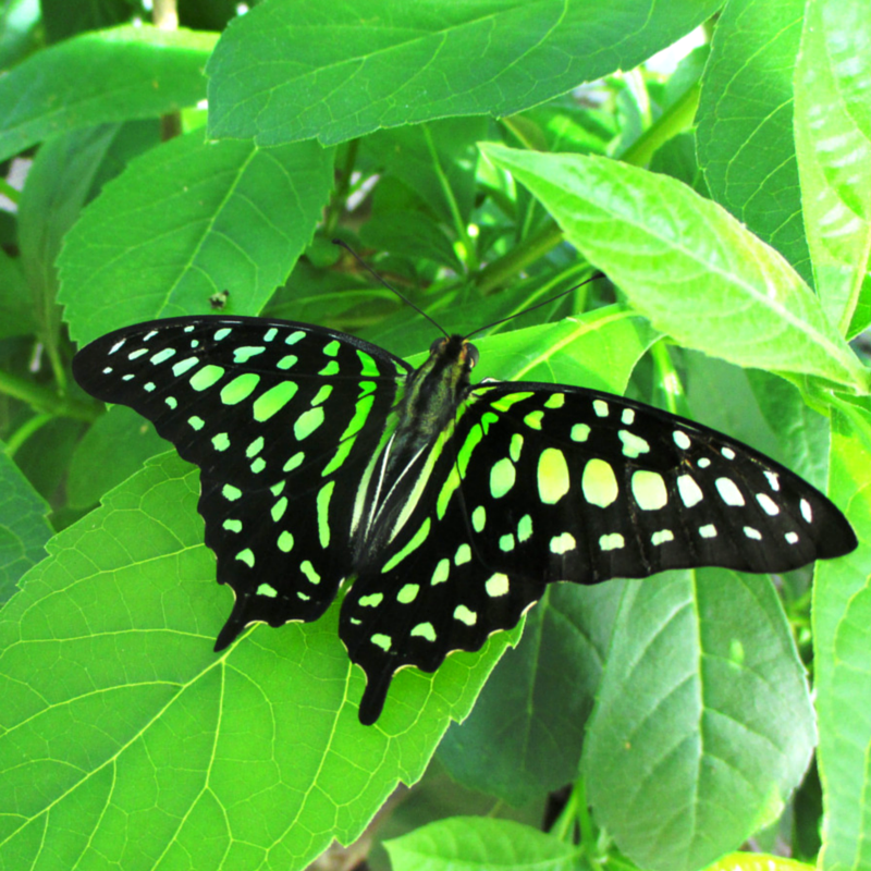 Tailed jay (Graphium agamemnon) resting on green leaves