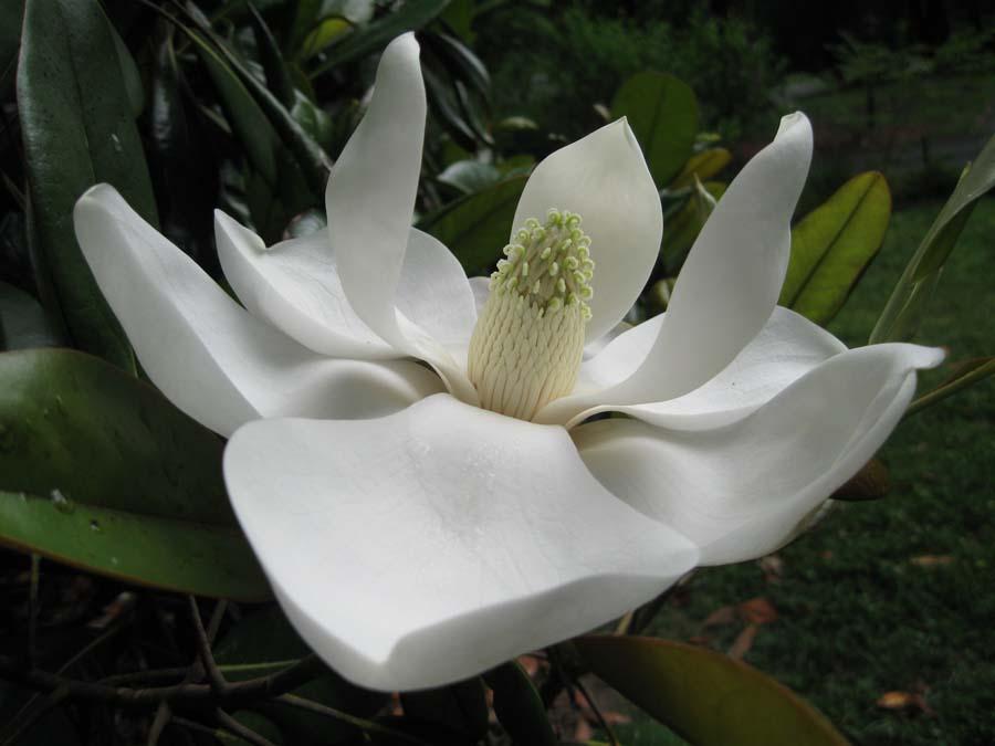 Magnolia bloom 900