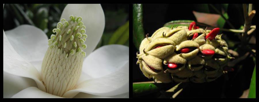 Magnolia fruit, magnolia seeds, magnolia cones