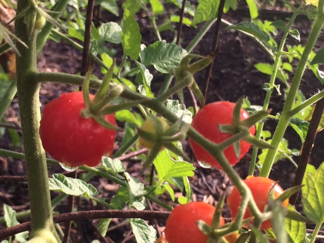 Cherry tomatoes on June 1st!