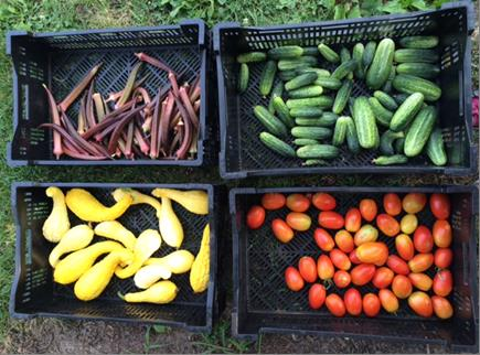 Red okra, pickling cucumbers, yellow supper squash and Roma tomatoes. Just a few of the veggies we donated this week