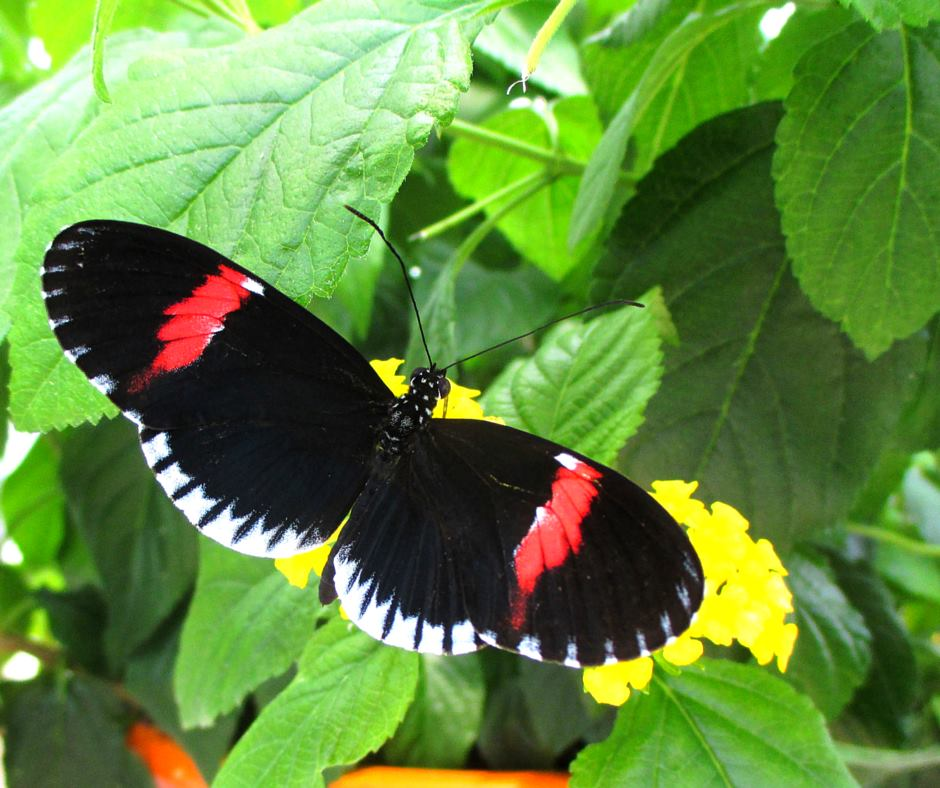 Doris longwing (Heliconius doris)  Photo by Hilaire Ashworth