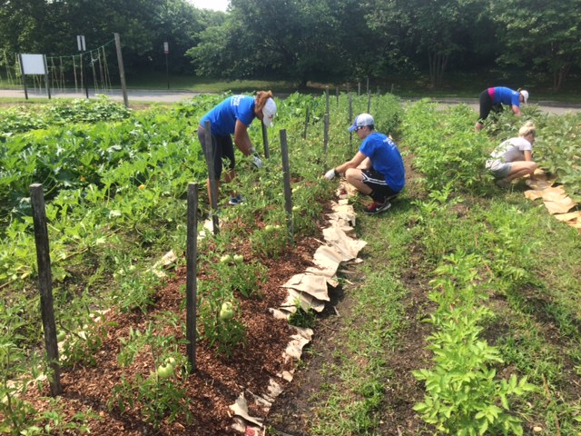 Genworth interns staking and tying tomato plants.
