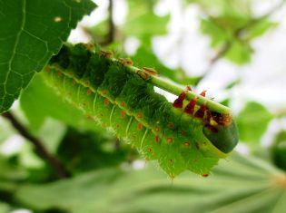A green (Actias luna) luna moth caterpillar hanging from sweet gum branch for peace essay