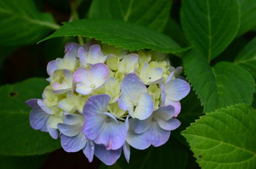 Hydrangea macrophylla 'Nikko Blue' brings back childhood memories.