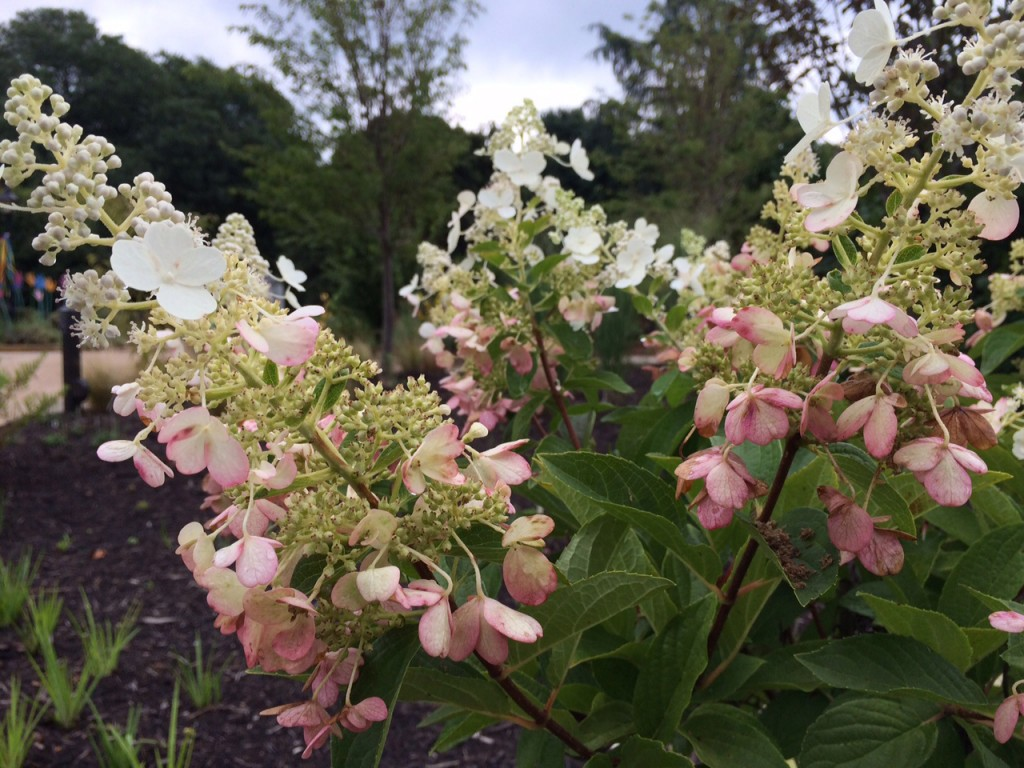 Hydrangea paniculata 'Dvppinky' PINKY-WINKY