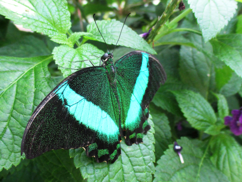 A green and black banded peacock (Papilio palinurus) resting with its wings open.