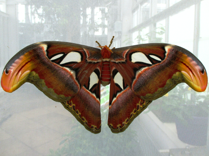 Atlas moth (Attacus atlas) resting with his wings open. His body is stockier and hairier than a butterfly's and he has feathered antennas.