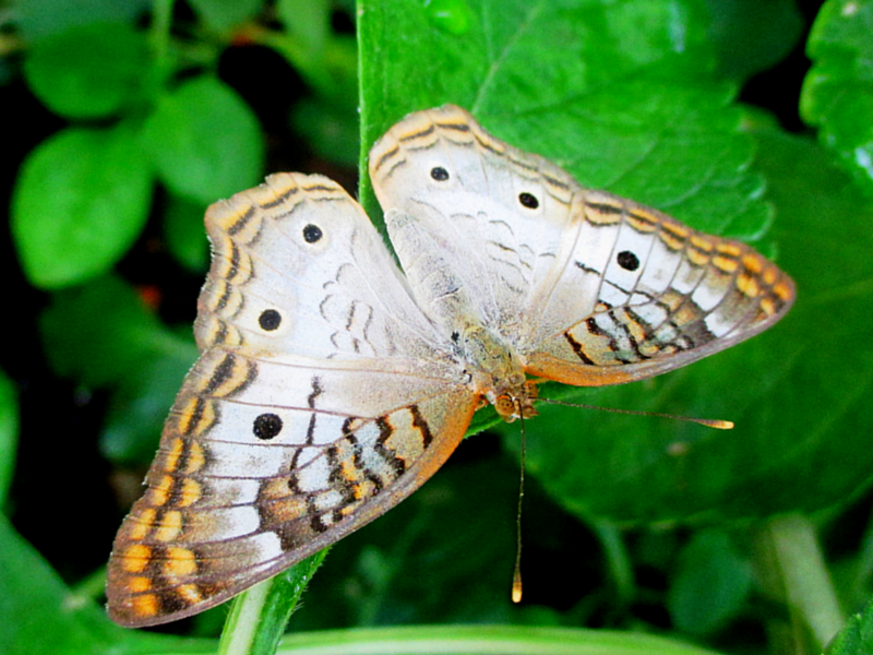 A white peacock (Anartia jatrophae) butterfly resting with his wings open on a leaf. His clubbed antennas are easy to distinguish.