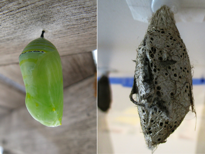 Monarch (Danaus plexippus) chrysalis hanging on the left and African moon moth (Argema mimosae) cocoon hanging on the right.