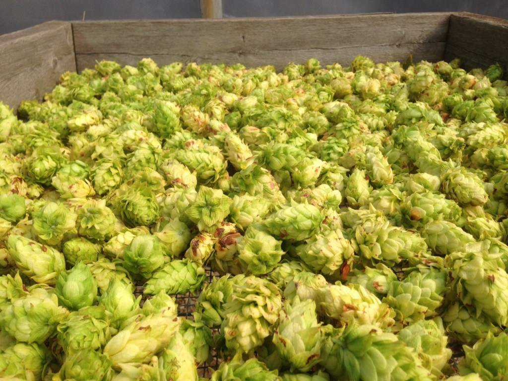 The first harvest of 'Cascade' hops.