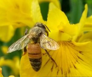 Bees are pollinators.