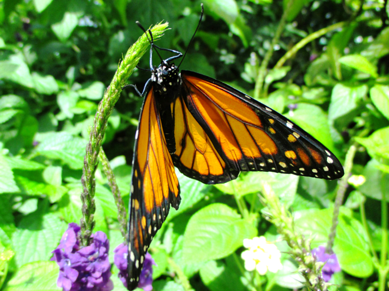 Adult monarch (Danaus plexippus) butterfly resting on purple flower.