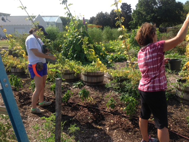 Lewis Ginter volunteers, Hannah Beck and Terry Lautzenheiser, harvest hops in the CKG.