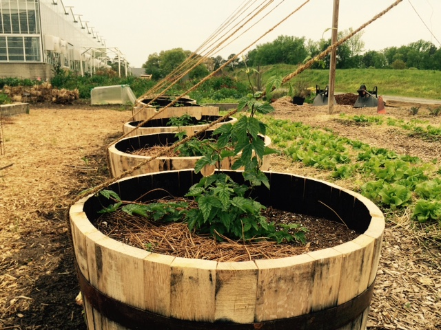 Young hops planted in repurposed bourbon barrels.