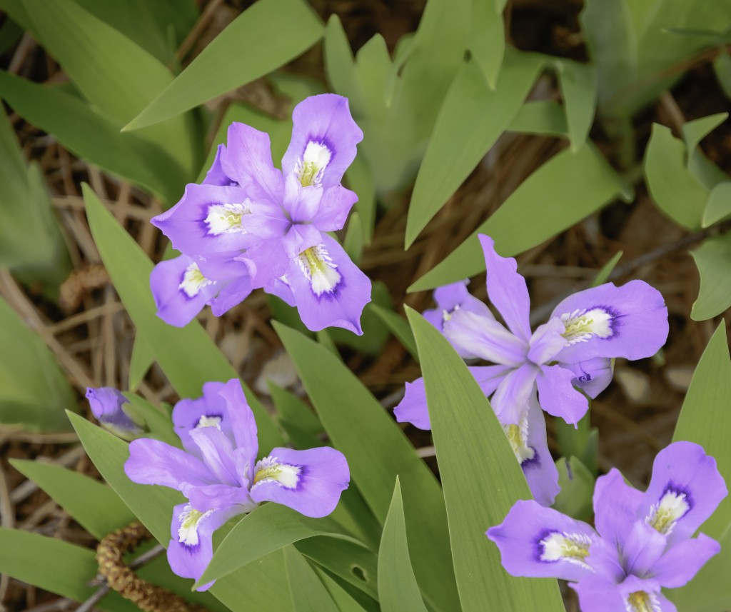 Dwarf crested iris grows in woodlands and shaded rock gardens.