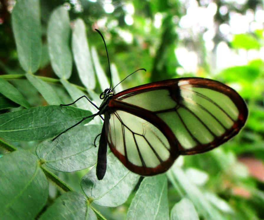 Costa Rican clearwing (Greta oto)