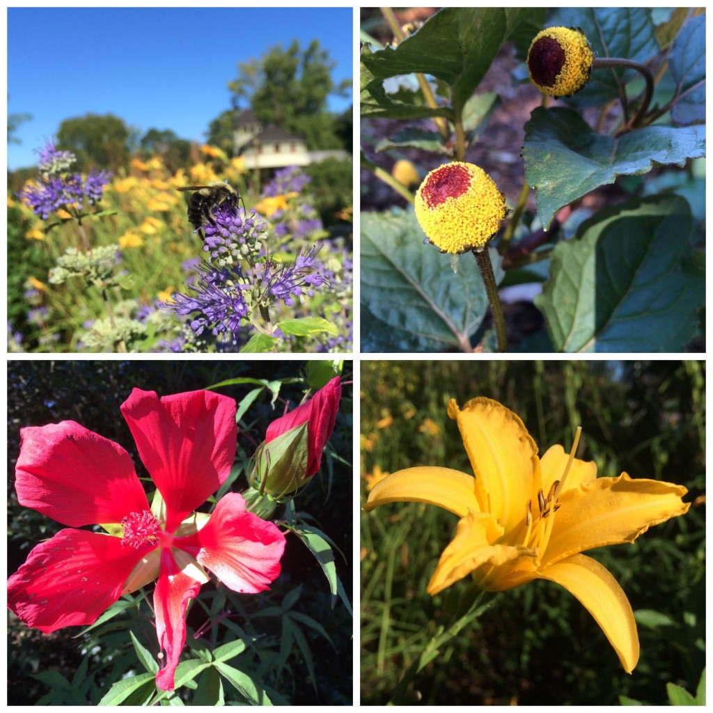 Pictured below (clockwise from top left) is Bluebeard (Caryopteris x clandonensis 'Janice' Lil' Miss Sunshine (TM), Peek-a boo plant or Spilanthes oleraeae, also sometimes callers toothache plant, Scarlet rose mallow (Hibiscus coccineus) and a day lily.