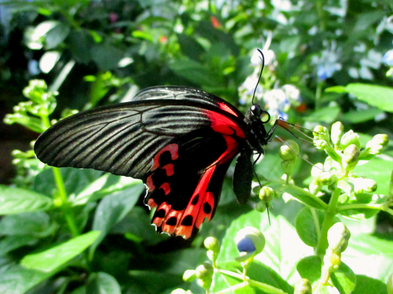Scarlet mormon (Papilio rumanzovia) lateral basking while perched on flower