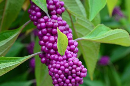Callicarpa; beautyberry