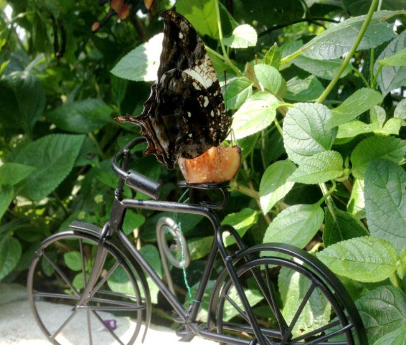 Silver-studded leafwing (Hypna clytemnestra) on black bike
