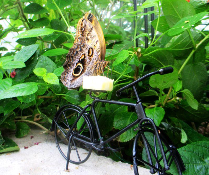 Giant Owl (Caligo memnon) butterfly on tiny black bike