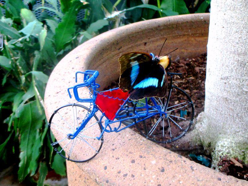 king shoemaker (Archaeoprepona demophon) on blue bike